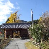 甲斐の国・本国寺のオハツキイチョウ