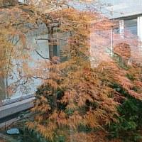 日本看護協会の8階の中庭の紅葉です。