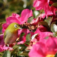カワセミを待って居ると近くの山茶花にメジロが来ました