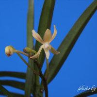 富貴蘭 無名キバナの花