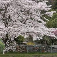 浅川散策 スイマーのカルガモ君&桜