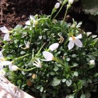 1月の花はウィンティー・ライムグリーン