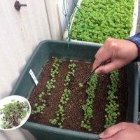 ルッコラ栽培日記:1回目のまびきをしました