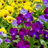 パンジーの紫と 水仙の黄色のコントラストが 凄くいい。