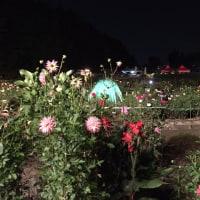 10月22日現在のダリア園の様子です。 月夜のダリア園 開催しています。