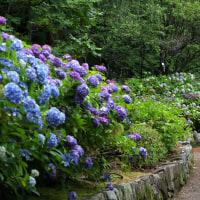 紫陽花癒し風景