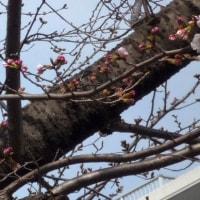 桜の蕾・・・ふくらんで・・・