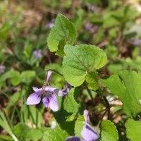 タカオスミレ 紫蘇色の葉