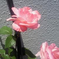 バラの花が咲きました。