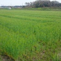 大麦の出穂とヘアリーベッチの生育状況