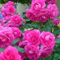 ご近所の薔薇公園    ~その1
