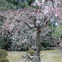 春の訪れを告げる梅の花