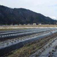 弥生月 雪消えの畑に 春の足音 (菜人)