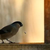 野鳥観察 ウソ
