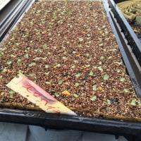 夏野菜育苗中です