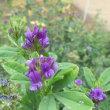 ムラサキウマゴヤシ(紫馬肥)