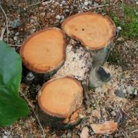 庭木を伐採