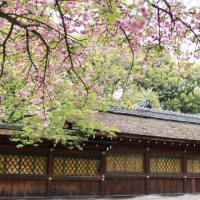 平野神社の桜 20170427