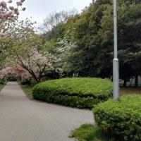 2017年4月21日八重桜まだ咲いてます。