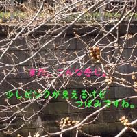 目黒川の桜はこんな感じです。