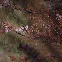 神田川 桜開花!
