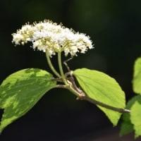 木漏れ日を浴びるコバノガマズミの花
