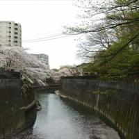 駆け込みで!飛鳥山&石神井川の桜 2017。
