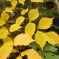 長野の紅葉黄葉:ヤマウルシの幼木が黄葉していました。幼木は鋸歯が大きいのが特徴です。