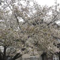 旧門司三井倶楽部の大島桜