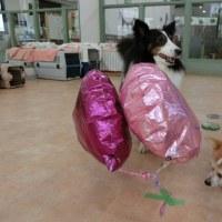 体験入園にきてくれたジーナちゃん♪  犬の幼稚園&躾教室@アロハドギー