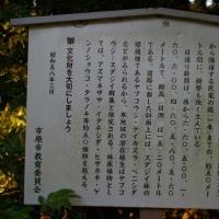 千葉県市原市、奈良本泉寺のスダジイです!!