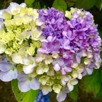 紫陽花も。