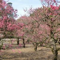 栗林公園の梅が「見頃」です!