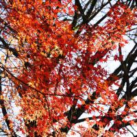 20161217 菊池 紅葉の残りを探しに