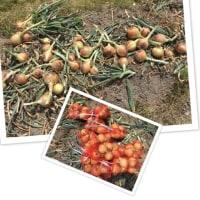 タマネギ収穫する