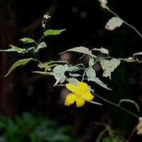 ヤマブキ開花