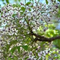 高木の栴檀(センダン) が紫の花を咲かせ始めていました