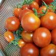 ミニトマト収穫♪
