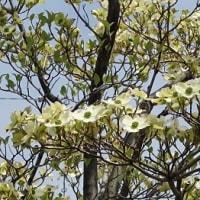 ハナミズキの花咲く