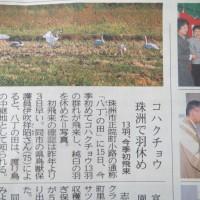 本屋親父のつぶやき 10月17日 コハクチョウが珠洲の田圃に今年もやってきました。