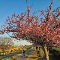 多摩川土手沿いにも河津桜が咲いていました。 (Photo No.11803)