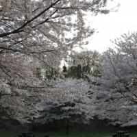 桜の花道☆