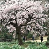 新宿御苑 枝垂れ桜が見頃に