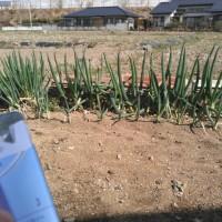ネギ肥ゆる春