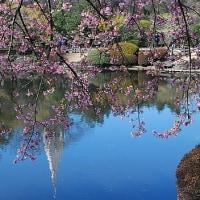 寒桜(カンザクラ) 新宿御苑