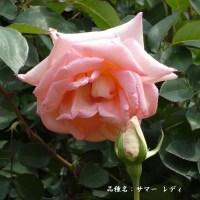春バラ その10