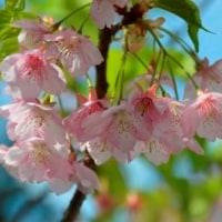 函館匂い桜 開花から50日