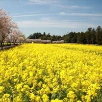 琵琶塚古墳の思川桜