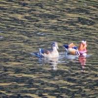 石手川ダムのオシドリを見に行きました