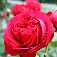 赤い薔薇(^-^)